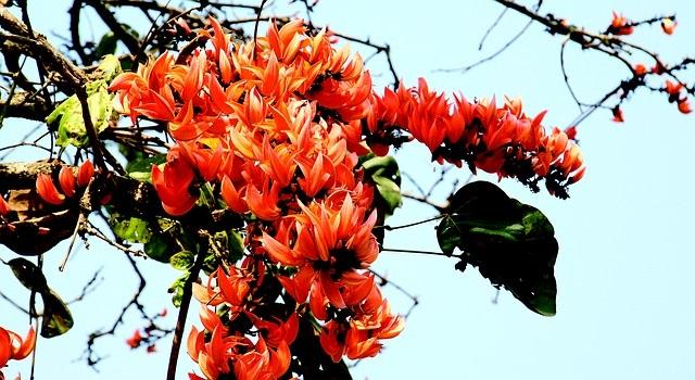 Ceiba: características, habitat e distribuição, espécies 4