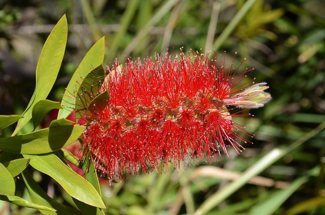 Myrtaceae: características, habitat, taxonomia e classificação 1