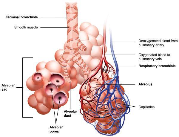 Bronquíolos: características, funções e doenças 1