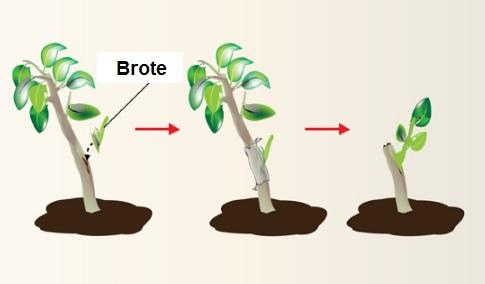 Qual é a brotação em plantas e animais? 3