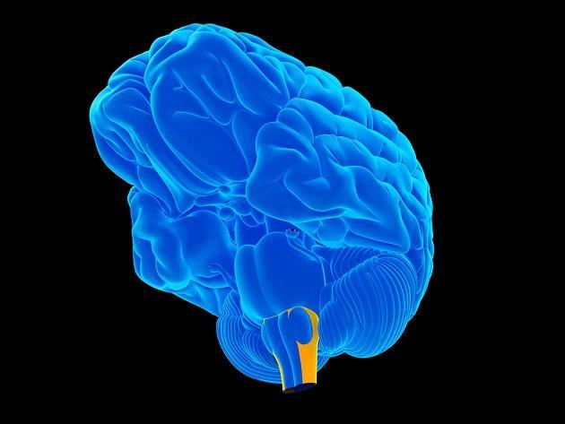 Meninges cerebrais: camadas e espaços (com imagens) 8