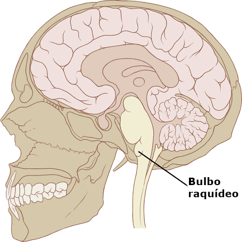 Tronco cerebral: funções, partes e anatomia 5