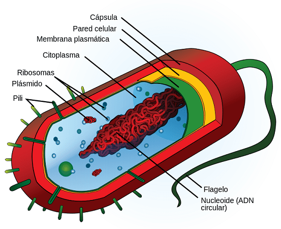 Tipos de células: Procariontes e eucariotos (com imagens) 16