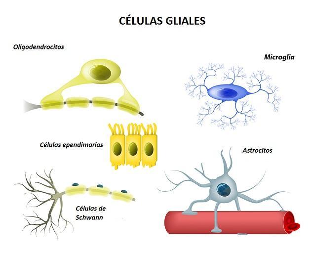 Células gliais: funções, tipos e doenças 1