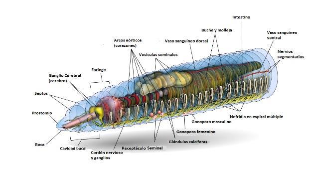 Oligochaetes: características, nutrição, reprodução, habitat 2