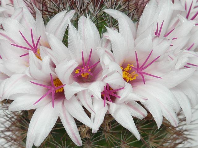 Mammillaria: características, habitat, cultivo, usos e espécies 2