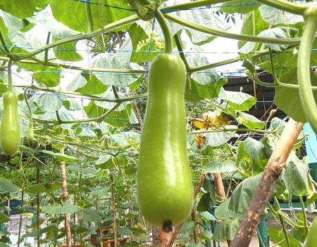 20 Legumes em Kaqchikel (com pronúncia) 10