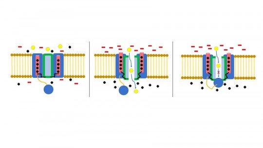 Canais iônicos: o que são, tipos. e como eles funcionam nas células 1