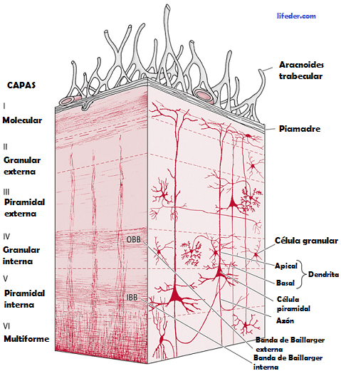 Córtex cerebral: camadas, funções, neurônios 3