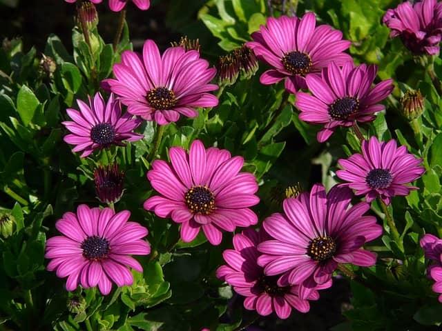 Asteraceae: características, habitat, espécies e usos 7