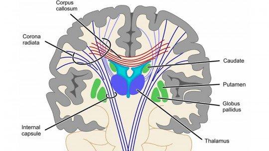 Cápsula interna (parte do cérebro) componentes e funções 1