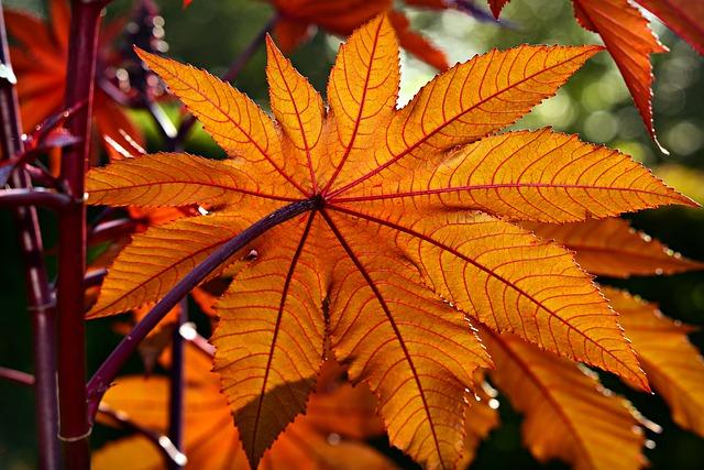 Ricinus communis: características, habitat, toxicidade, usos 3