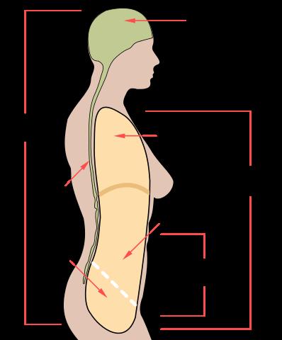 Cavidade abdominal: anatomia e órgãos, funções 1
