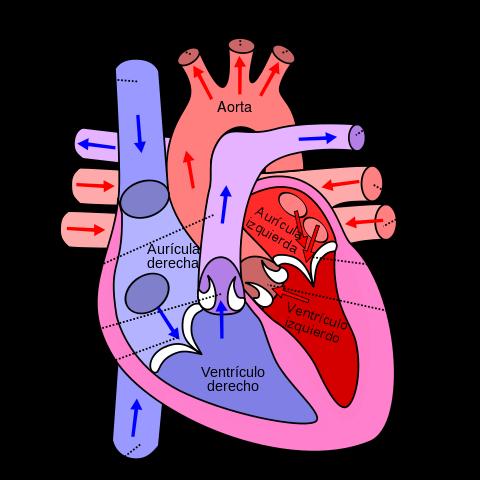 Quais são as camadas do coração? 1