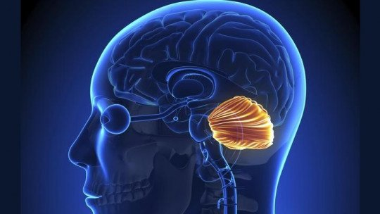 Cérebro cerebelar: suas partes e funções 1