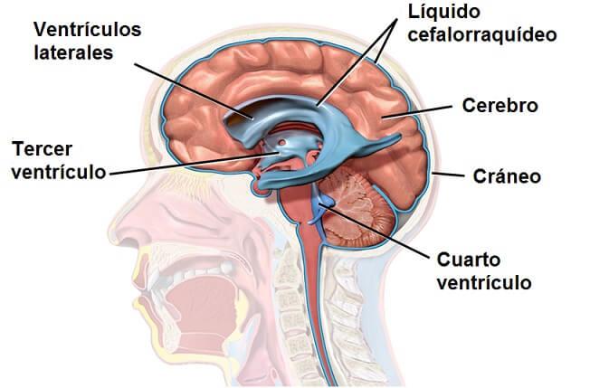 Líquido cerebrospinal: características, circulação, função 2