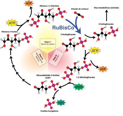 Fase escura da fotossíntese: características, mecanismo, produtos 3