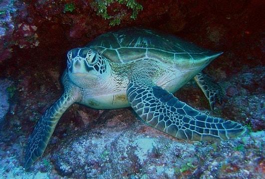 Ciclo de vida da tartaruga marinha para crianças (com imagem) 5