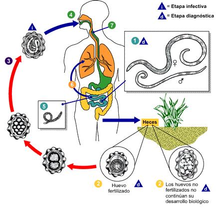 Ascaris lumbricoides: características, morfologia, ciclo de vida 2