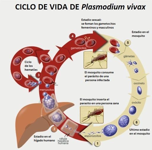Plasmodium vivax: morfologia, ciclo de vida e sintomas 2
