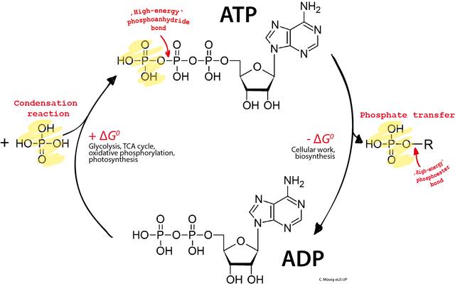 ATP (trifosfato de adenosina): estrutura, funções, hidrólise 3