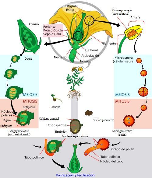 O ciclo de vida das plantas (para crianças e adultos) 1
