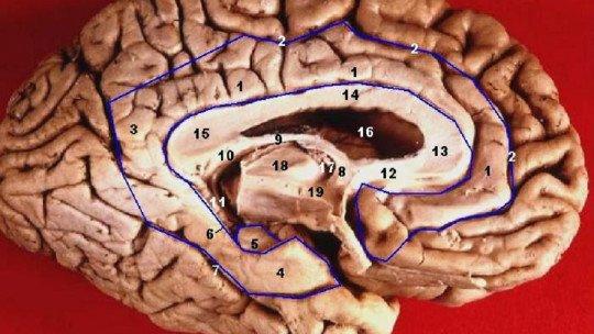 Circuito de Papez: o que é e quais estruturas cerebrais inclui 1
