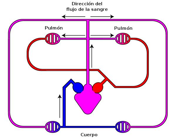 O que são o sistema circulatório aberto e fechado? 2