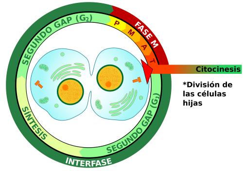 O que é citocinese e como ocorre? 1