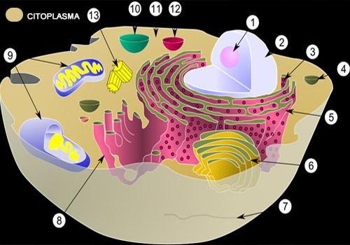Citoplasma: Funções, Peças e Recursos 1