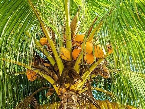 Cocos nucifera: características, habitat, usos, cuidados 6
