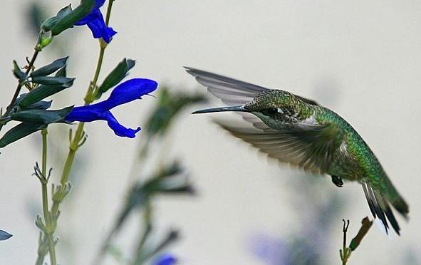 Ciclo de vida do beija-flor: estágios e características (imagens) 10