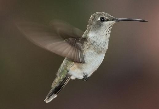 Ciclo de vida do beija-flor: estágios e características (imagens) 4