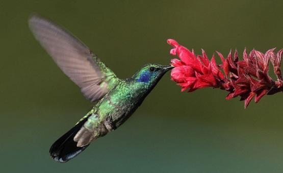 Ciclo de vida do beija-flor: estágios e características (imagens) 2