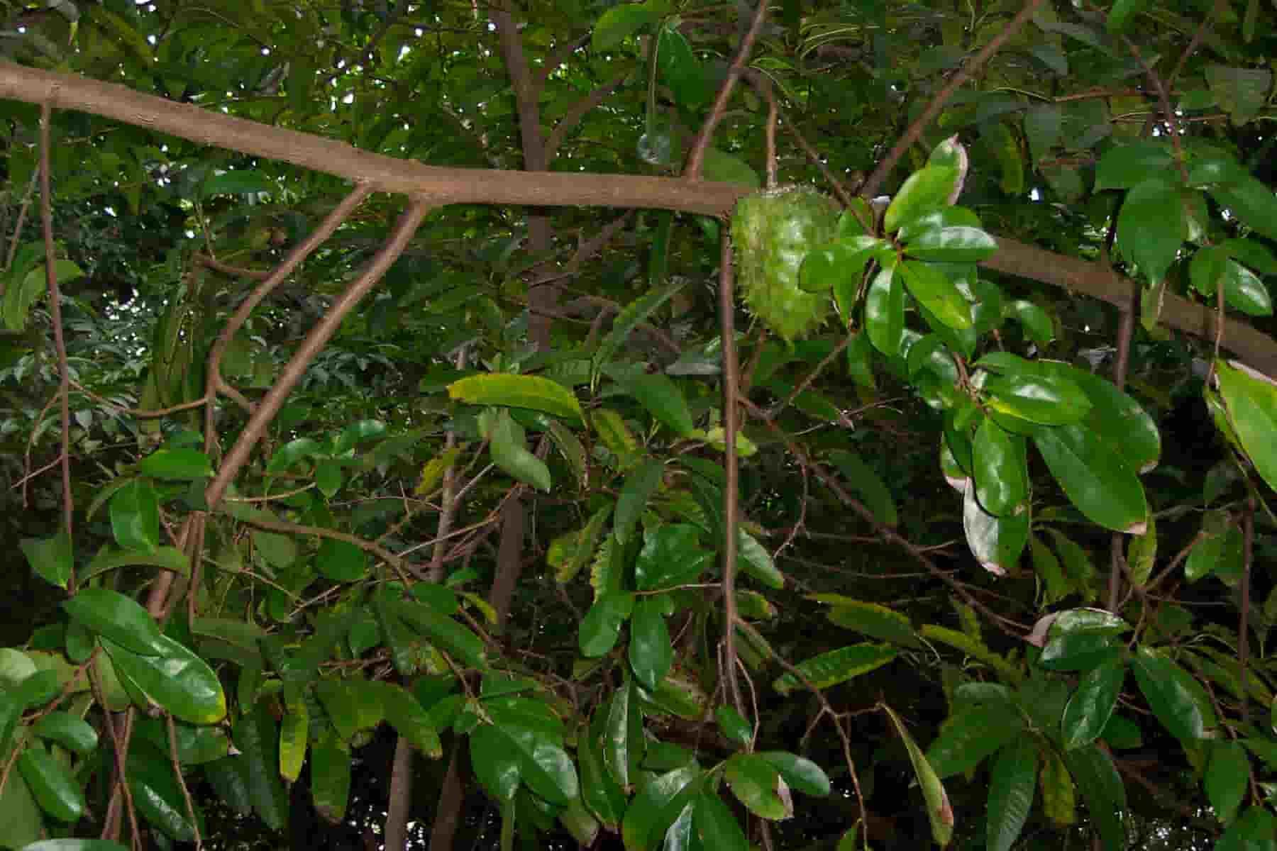 Folhas de graviola: para que servem e como prepará-las 1
