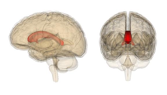 Hemisfério cerebral esquerdo: funções, características 3