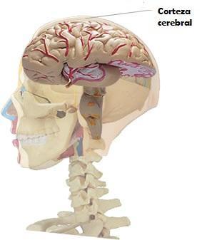 Lobo temporal: características, anatomia e funções 6