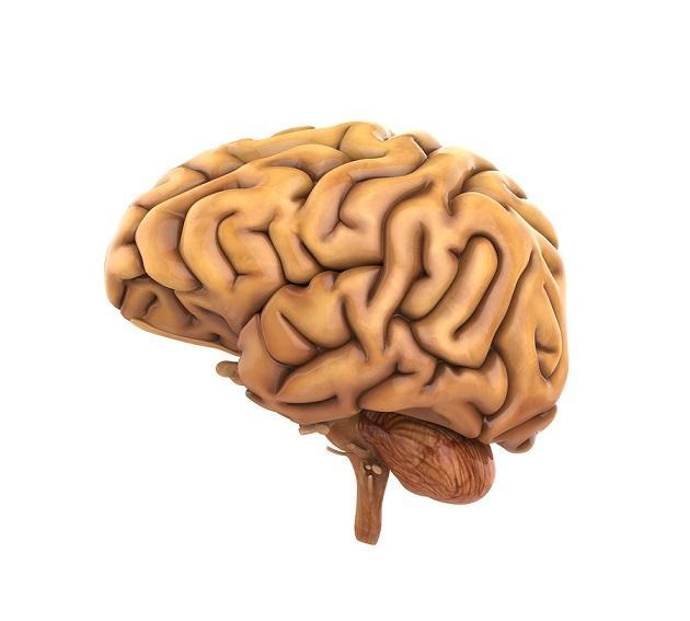 Córtex cerebral: camadas, funções, neurônios 1