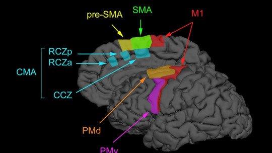 Córtex pré-motor: características e funções desta área cerebral 1