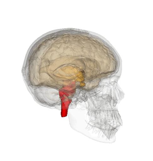 Tronco cerebral: funções, partes e anatomia 7