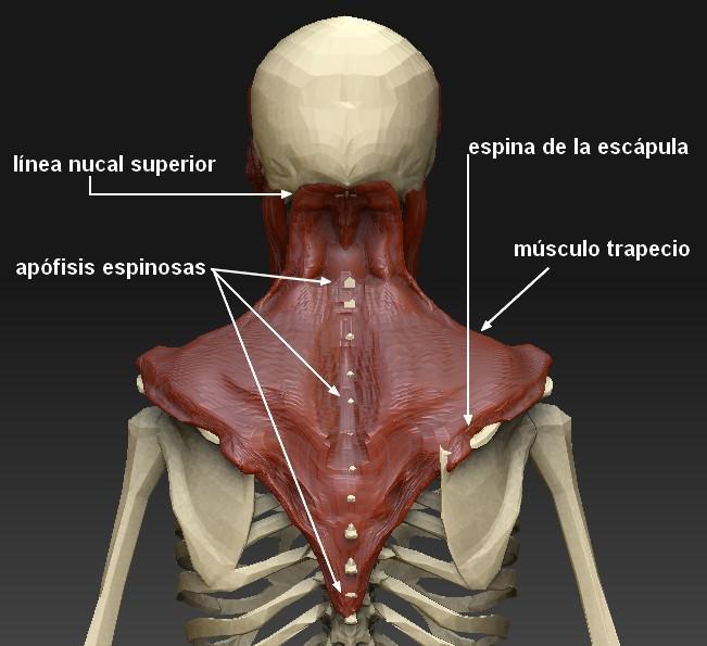 Músculos do Pescoço: Classificação e Funções 2