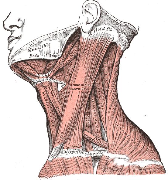 Músculos do Pescoço: Classificação e Funções 3