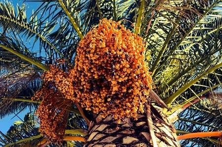 Palmeiras: características, habitat, propriedades, cultivo, espécies 4
