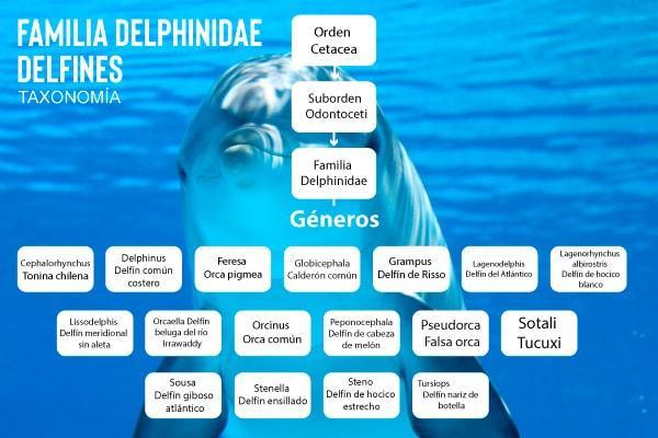 Golfinhos: características, evolução, habitat, reprodução 2
