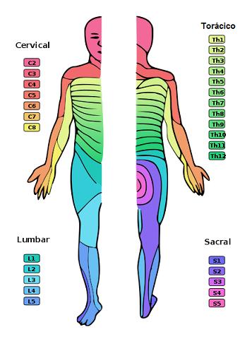 Dermatoma: o que é, tipos e significado clínico 1