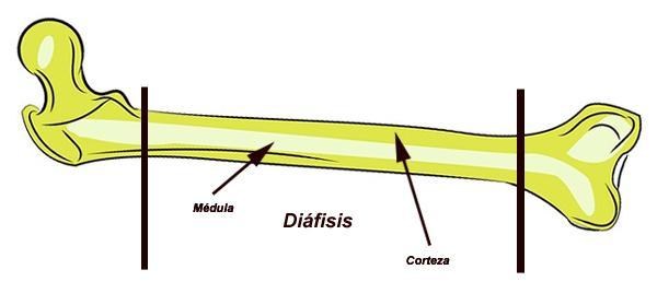 Diafise: Funções, Composição e Fraturas Diafisárias 1