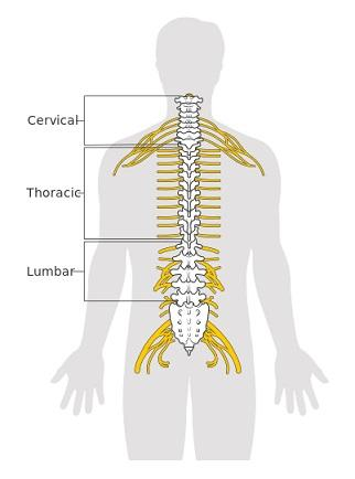 Medula Espinhal: Peças, Funções e Anatomia (com imagens) 3