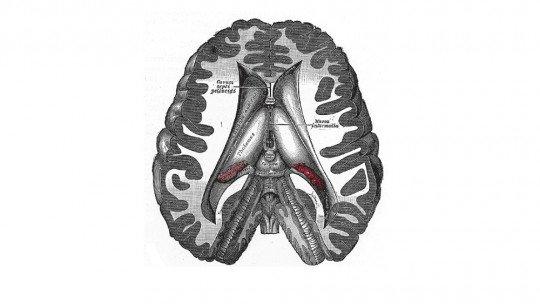 Dencéfalo: estrutura e funções desta região cerebral 1