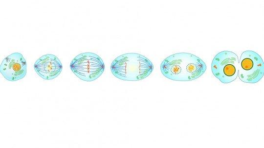 Diferenças entre mitose e meiose 1