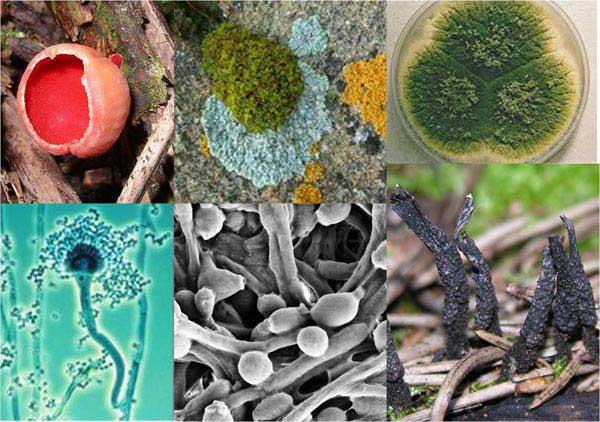 Ascomicetes: características, nutrição, habitat, reprodução 1